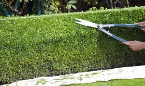 trimming hedges image conte lawn